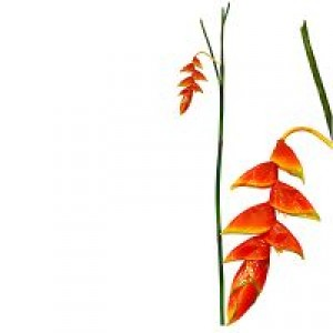 Heliconia lge