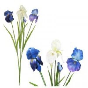 Iris x 2