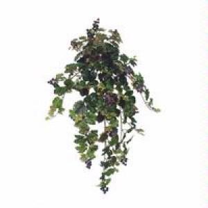 Grape Ivy Bush