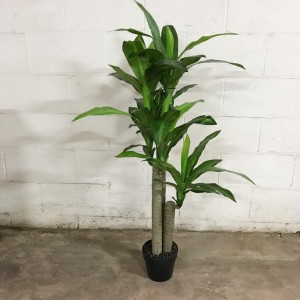 Dracena Tree