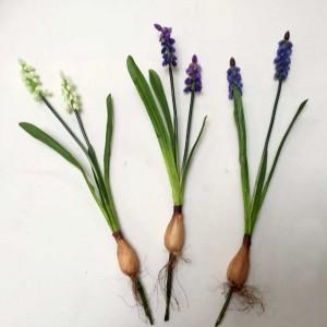 Mini grape hyacinth x 2
