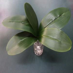 Phaleanopsis Leaf