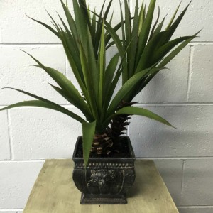 Star Succulent Aloe